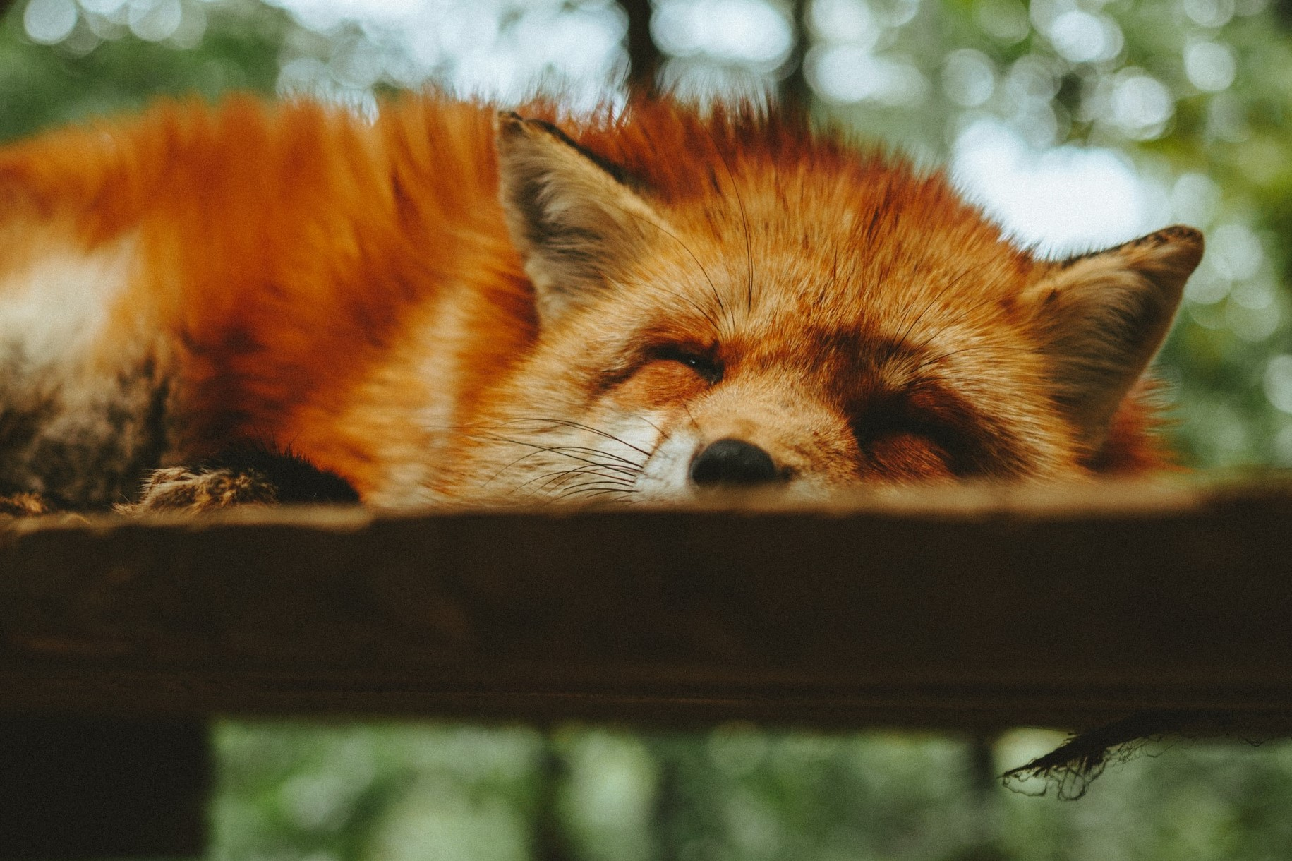 Snoozing fox